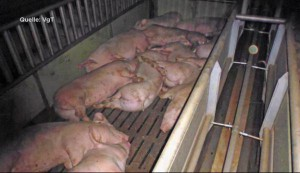 135 cochons meurent gazés dans leurs propres flatulences