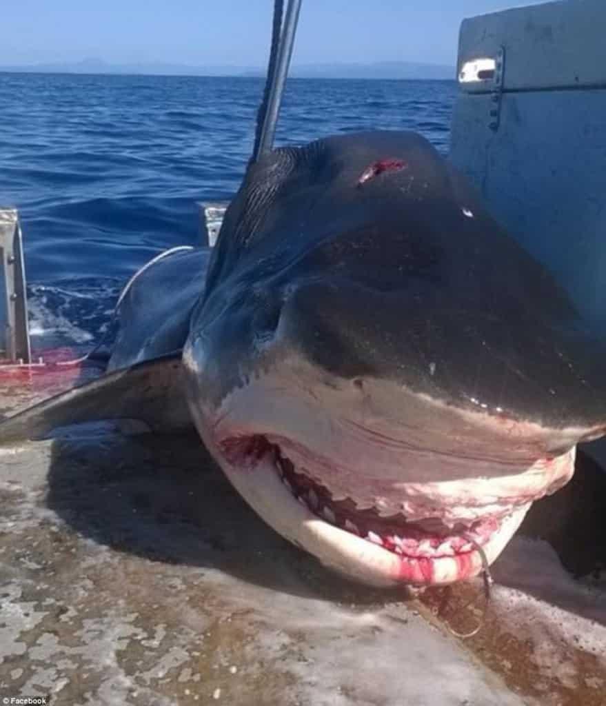 Requin Tigre énorme pêché au large de l'australie