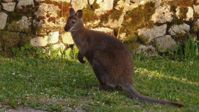 Seine-Maritime: un kangourou s'est échappé d'un parc animalier