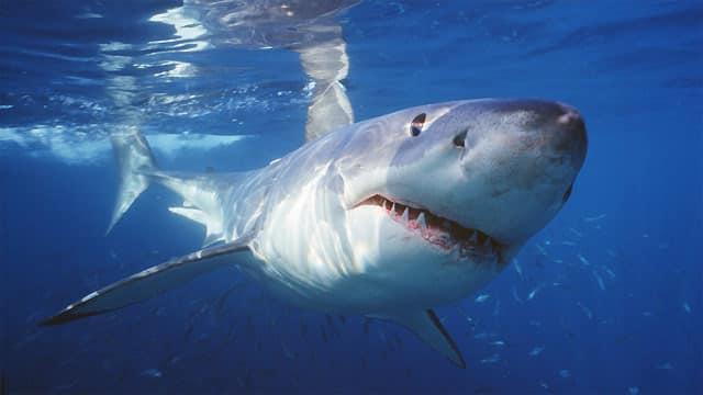 Alerte baignade: des dizaines de milliers de requins à pointe noire envahissent la Floride et sèment la panique !