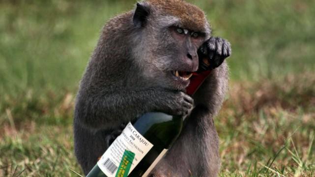 Brésil : un singe ivre attaque au couteau les clients d'un bar!