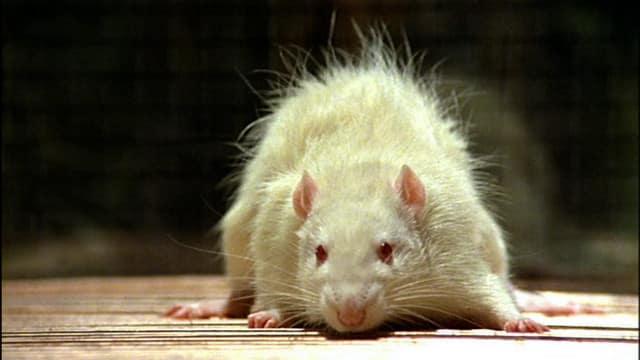 Irlande: assis sur les toilettes, il se fait mordre les fesses par un rat !