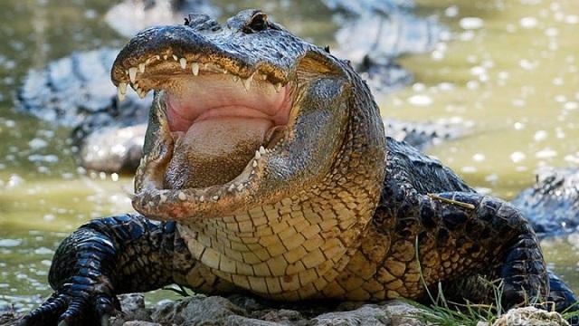Floride: un promeneur prend en photo un alligator dévorant un corps humain!