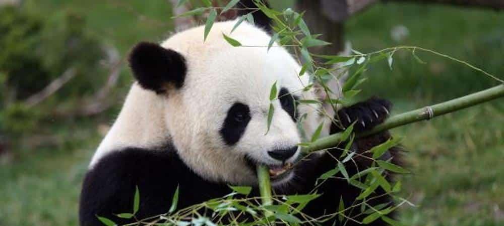 1000Animaux- pour le PREMIÈRE FOIS en France une femelle panda va donner naissance à un bébé