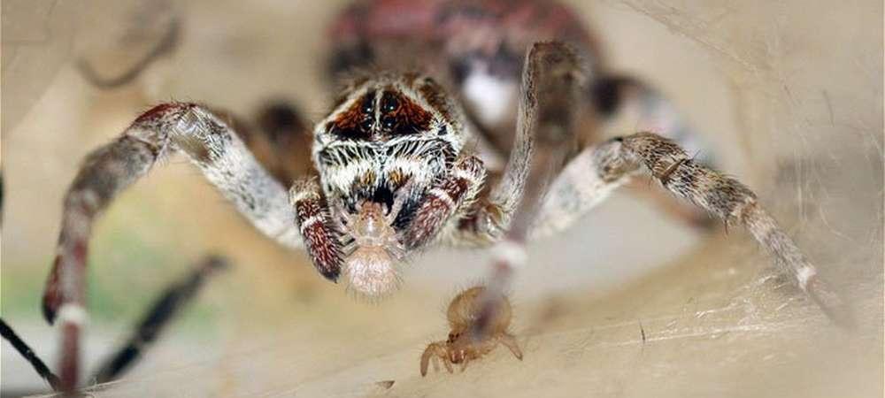 1000 araignées sacrifice bébés