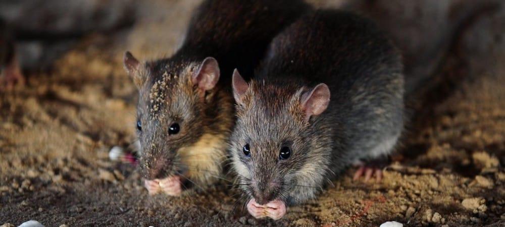 1000Une ados handicapée se fait attaquer par des rats en plein sommeil