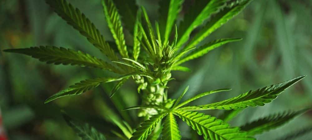 Cannabis: le gouvernement décide de punir les consommateurs par une amende ! grande