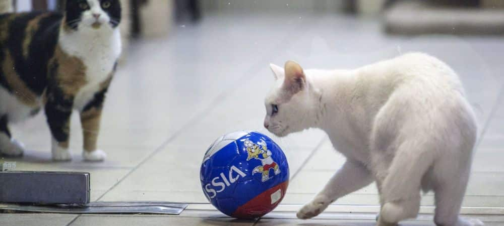 Coupe du Monde 2018 un chat blanc sourd comme pronostiqueur officiel grande