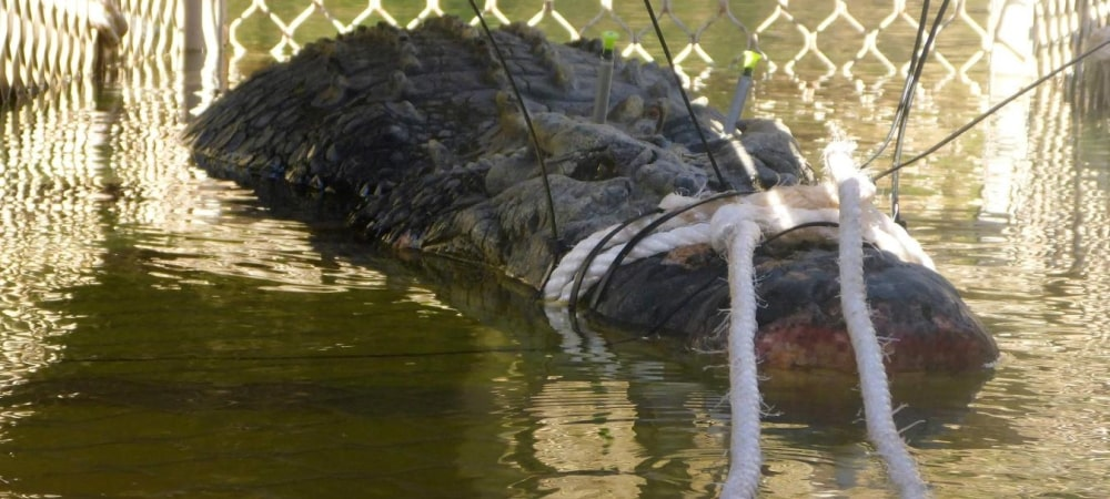Un crocodile de 600 kilos capturé en Australie après une traque de 8 ans grande