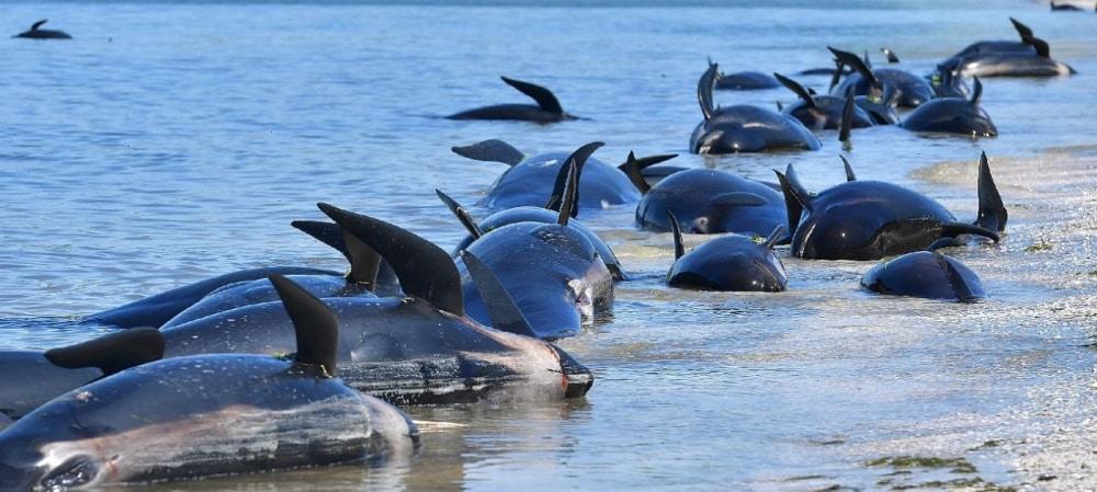 Une centaine de Dauphins retrouvés mort sur une plage