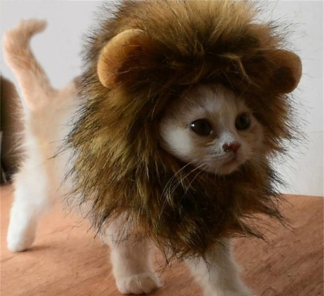 11 Votre chat va devenir aussi un véritable lion grâce à cette jolie perruque très sauvage