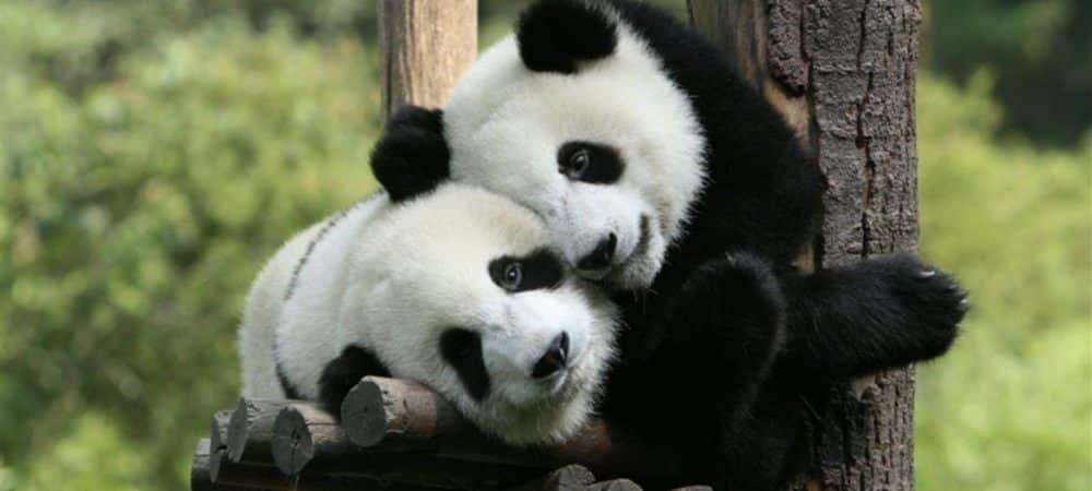 Panda 20 cadeaux indispensables pour les fans de cet animal trop mignon grande
