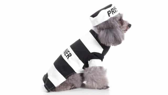 10 Ce déguisement de prisonnier pour Halloween fera son effet. Tout le monde aura peur de votre chien
