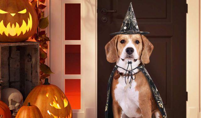 9 Votre chien va aussi vous jeter des mauvais sortis pour la soirée de l'horreur. Soyez gentil avec lui
