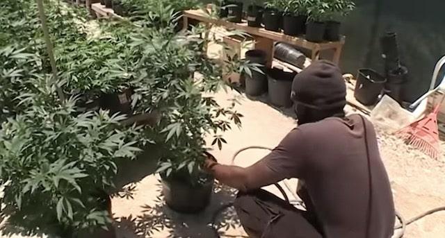 Le cannabis efficace pour lutter contre le Covid-19 ?