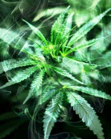 Cannabis: l'hôpital de Nancy veut faire des tests sur les gros fumeurs !
