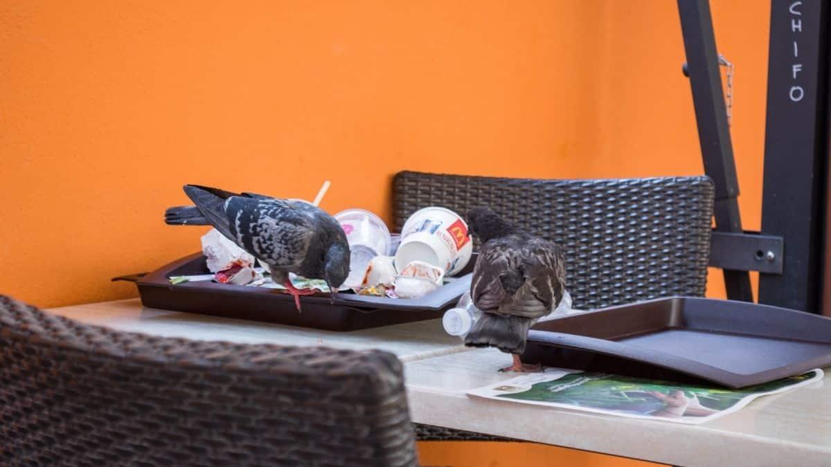 Mcdonald's: des clients se font voler leur menu par des oiseaux !